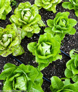 a photo of rows lettuce in a garden