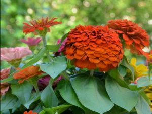 Dark orange zinnia in the foreground surrounded by large green leaves