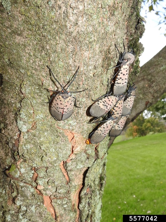 Adult Spotted Lantern Fly