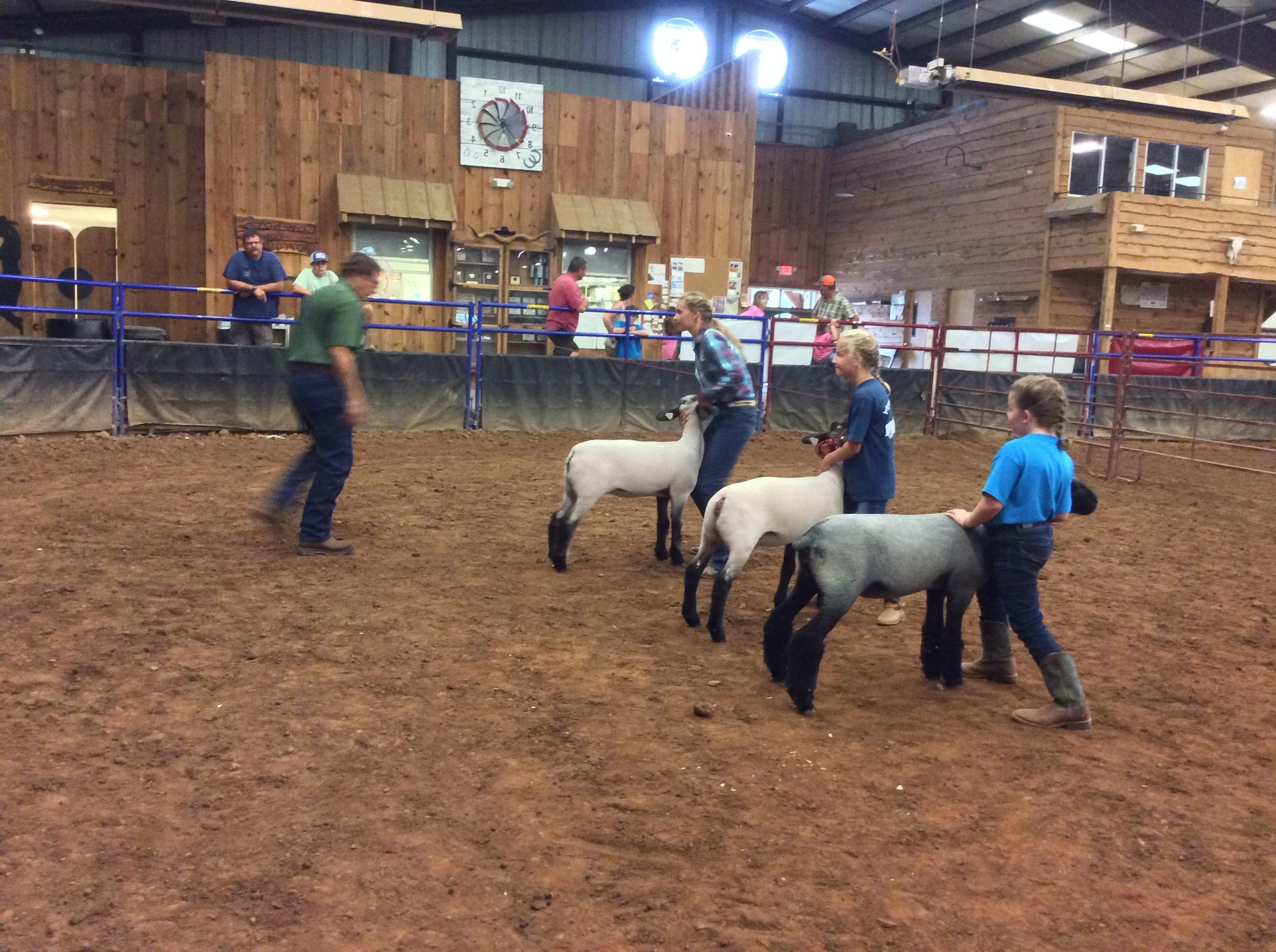 Three young females in a show ring showing their ewes to a judge.