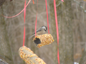 Carolina Chickadee feeding on a homemade bird feeder tied to a tree with red ribbons