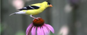 American goldfinch (Spinus tristis) perched ona Purple coneflower (Echinacea purpurea).