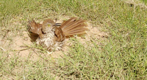 A brown thrasher (Toxostoma rufum) dust bathing.