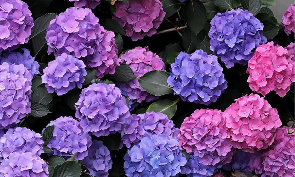A photo of hydrangeas ranging from purple, to blue, to pink.