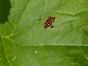 Squash bug eggs on summer squash leaf