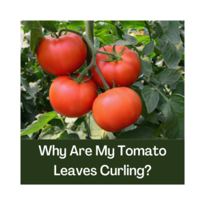 4 red tomatoes on the vine with leaves surrounding them