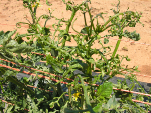 Herbicide Damage to Tomato Leaves