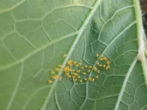 Squash beetle eggs