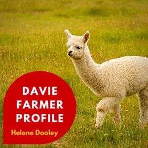 white young alpaca in a field