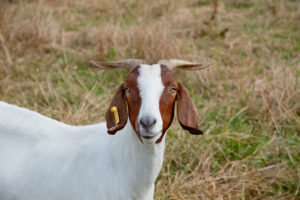Cover photo for Sheep & Goat Webinar Series for Beginners